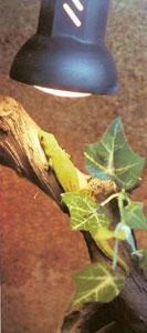 дневной мадагаскарский геккон
